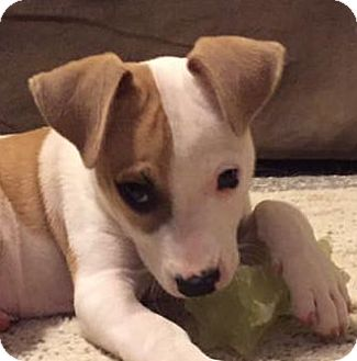 Jack Russell Terrier/Terrier (Unknown Type, Small) Mix Puppy for adoption in Olive Branch, Mississippi - Rio