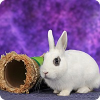 Dwarf Hotot Mix for adoption in Marietta, Georgia - Pecan
