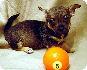 Chihuahua/Dachshund Mix Puppy for adoption in Texarkana, Texas - CookP5 ADOPTED CT