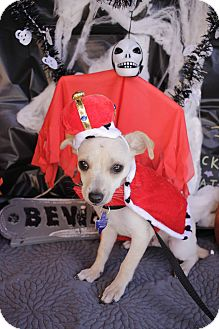 Chihuahua Mix Puppy for adoption in San Antonio, Texas - Whiskey