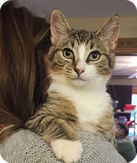 Domestic Mediumhair Kitten for adoption in Lincolnton, North Carolina - Mouse
