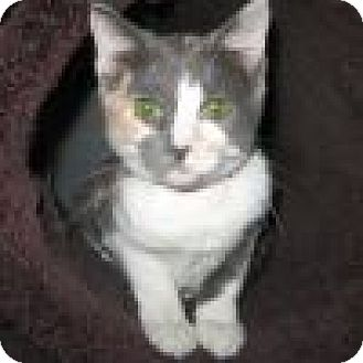Domestic Shorthair Cat for adoption in Powell, Ohio - Maddie