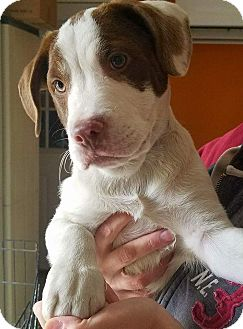 American Bulldog/Pointer Mix Puppy for adoption in Hammonton, New Jersey - Dean
