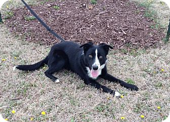 Border Collie Mix Dog for adoption in Larned, Kansas - Jake