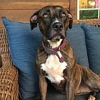Hound (Unknown Type) Mix Dog for adoption in Mocksville, North Carolina - Zoey
