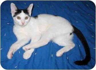 Domestic Shorthair Kitten for adoption in Cincinnati, Ohio - Matty kitten
