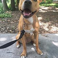Adopt A Pet :: Chloe - Minneapolis, MN