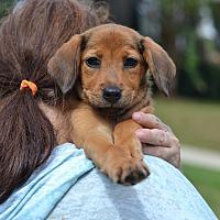 Adopt A Pet :: Hazel - Fall Litter - Acworth, GA