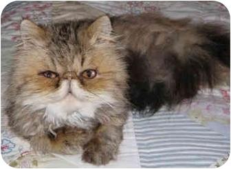 Persian Cat for adoption in Davis, California - Analise