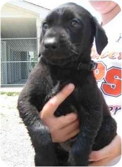 Australian Shepherd/Labrador Retriever Mix Puppy for adoption in Florence, Indiana - Carson