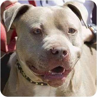 American Pit Bull Terrier Mix Dog for adoption in Berkeley, California - Bishop