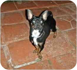 Chihuahua Mix Puppy for adoption in San Diego, California - Lola