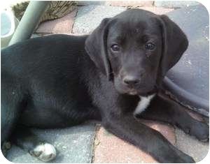 Labrador Retriever/Basset Hound Mix Puppy for adoption in West Milford, New Jersey - KAILAH