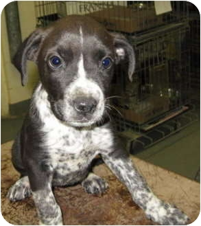 Pit Bull Terrier/Australian Cattle Dog Mix Puppy for adoption in Stillwater, Oklahoma - Madison
