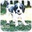 Photo 2 - Cocker Spaniel/Poodle (Standard) Mix Dog for adoption in Winnetka, California - OREO