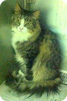 Maine Coon Cat for adoption in Chattanooga, Tennessee - Logan