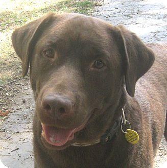 Labrador Retriever Dog for adoption in Jacksonville, Florida - Willie