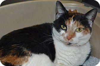 Domestic Shorthair Cat for adoption in Elyria, Ohio - Catty