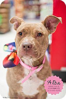 American Staffordshire Terrier/Labrador Retriever Mix Dog for adoption in Detroit, Michigan - Alba-Adopted!