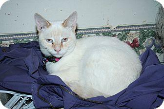 Siamese Cat for adoption in Santa Rosa, California - Desdemona
