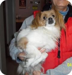 Papillon/Cavalier King Charles Spaniel Mix Dog for adoption in Shawnee Mission, Kansas - Penny Jo