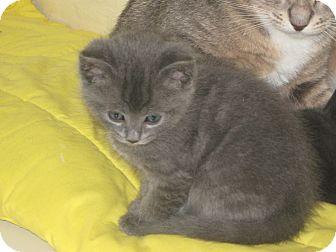 Domestic Shorthair Kitten for adoption in Elliot Lake, Ontario - Pearl