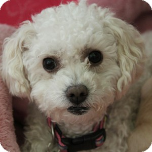 Bichon Frise Mix Dog for adoption in La Costa, California - GiGi