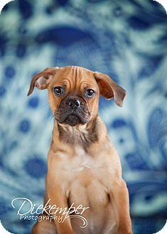 Pug/Beagle Mix Puppy for adoption in Vandalia, Illinois - Yogi