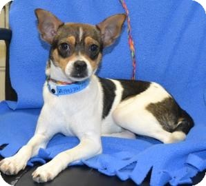 Rat Terrier/Chihuahua Mix Puppy for adoption in Crosby, Texas - Timberlake