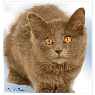 Domestic Mediumhair Cat for adoption in Newland, North Carolina - Autumn