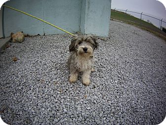 Lhasa Apso Mix Puppy for adoption in El Dorado Springs, Missouri - Molly