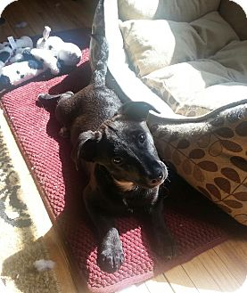 Dachshund/Corgi Mix Dog for adoption in Rochester, Minnesota - Rebel