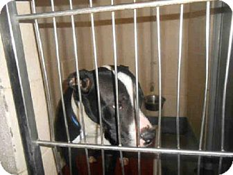 Pit Bull Terrier Mix Dog for adoption in Indianapolis, Indiana - DARRELL