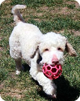 Bichon Frise/Poodle (Miniature) Mix Dog for adoption in Mission Viejo, California - MURPHY