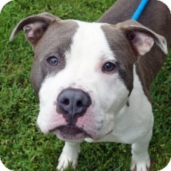 Staffordshire Bull Terrier Mix Puppy for adoption in Eatontown, New Jersey - Hector