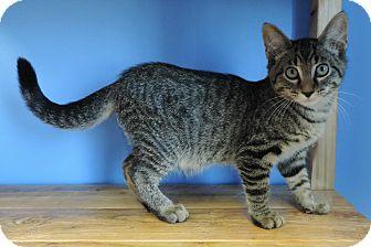 Domestic Shorthair Kitten for adoption in Brookings, South Dakota - Peter