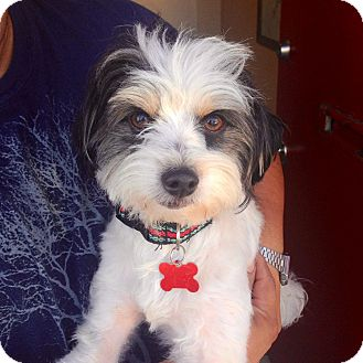 Havanese Mix Dog for adoption in Encino, California - Sweeney