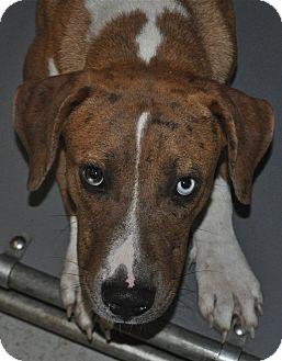 Boxer/Catahoula Leopard Dog Mix Dog for adoption in Savannah, Georgia - Sebastian
