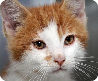Domestic Shorthair Kitten for adoption in Royal Oak, Michigan - FRY