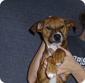 Australian Shepherd/Labrador Retriever Mix Puppy for adoption in Oviedo, Florida - Molly