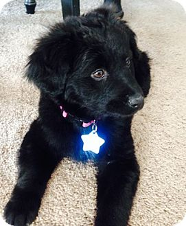 Great Pyrenees/Newfoundland Mix Puppy for adoption in Tulsa, Oklahoma - Raven  *Adopted