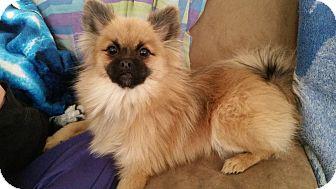 Pomeranian/Pekingese Mix Dog for adoption in Battle Creek, Michigan - Bear