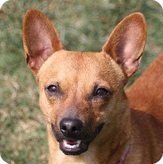Chihuahua/Dachshund Mix Dog for adoption in Edmonton, Alberta - Gary