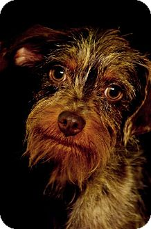 Terrier (Unknown Type, Small)/Dachshund Mix Dog for adoption in Fort Smith, Arkansas - Hercules
