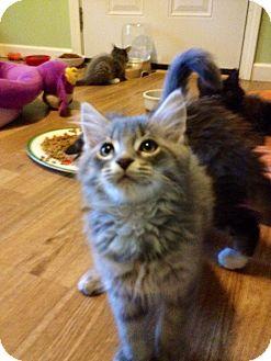 Domestic Longhair Kitten for adoption in Monroe, Georgia - Hootie