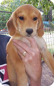 Beagle/Corgi Mix Puppy for adoption in Buffalo, New York - Bonya