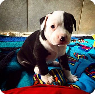 American Staffordshire Terrier/American Pit Bull Terrier Mix Puppy for adoption in Eugene, Oregon - Simon