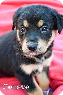 Labrador Retriever/Australian Shepherd Mix Puppy for adoption in DFW, Texas - Geneve