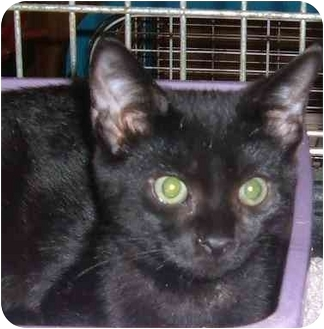 Domestic Shorthair Cat for adoption in Bedford, Massachusetts - Dante