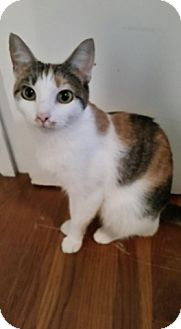 Domestic Shorthair Cat for adoption in Richmond, Virginia - Paisley